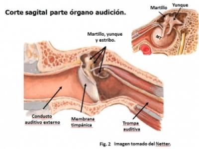 Oído médio. Características morfológicas y funcionales. Vinculación ...